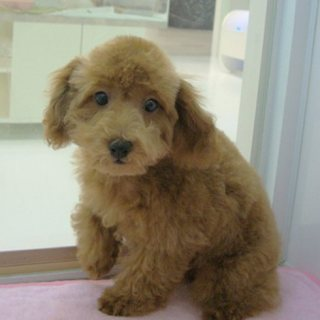 Poodle Puppies For Rehoming