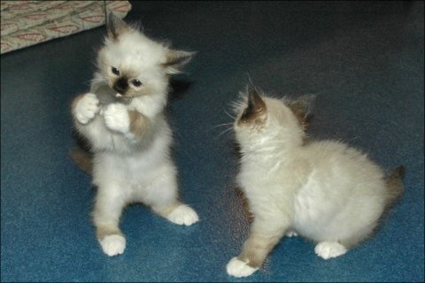 Cute Birman Kittens For Rehoming