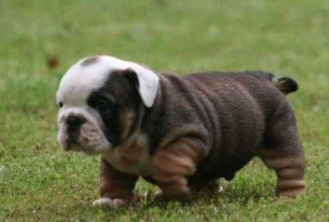 Cute,sweet well trained adorable AKC registered English bulldogs