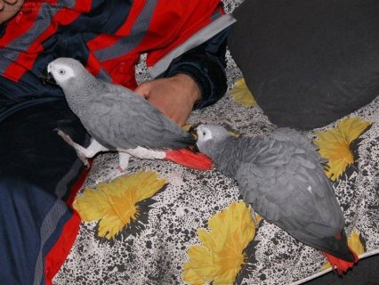 صور Adorable African Grey Parrot for sale99999 1