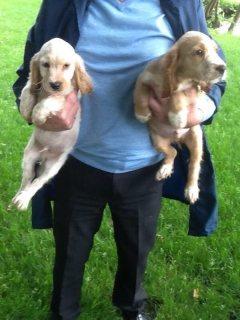 quality Pomeranian miniature puppies