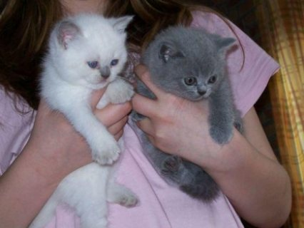 صور Sweet male and female British short hair kittens ready for sale  1