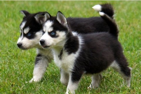 awesome male and female Siberian husky puppies