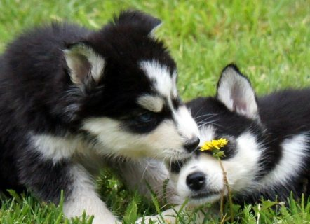Gorgeous Siberian husky  Puppies For Adoption