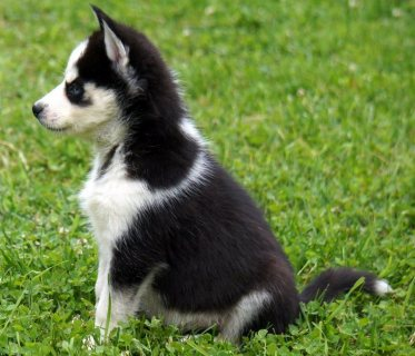 pure bred Siberian husky puppies for adoption
