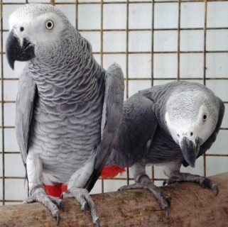African grey parrots, chicks and eggs for sale