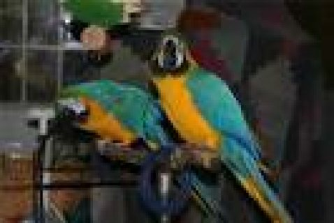 a pair of hand raised blue and gold macaw parrots for adoption
