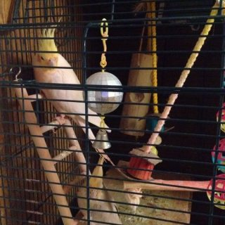 Two Cockatiel parrots+cage+lot of toys for a great low price