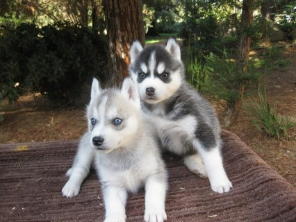 Siberian Husky to being A New Year
