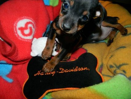 Purebred Miniature Pinscher Puppies for sale!!!!!!!!