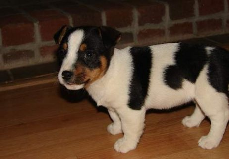 Jack Russell Terrier Puppies for sale/..//./././