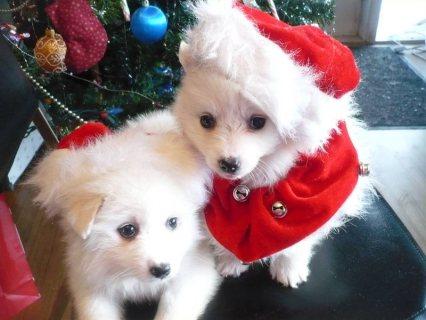 Minature American Eskimos puppies for sale