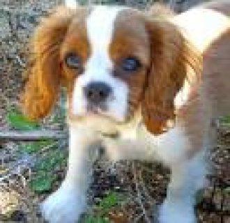 Cavalier King Charles Spaniel Puppies...//././.