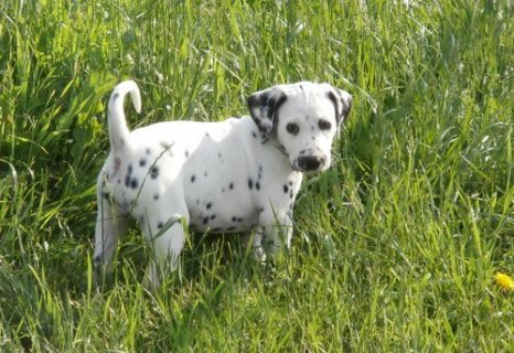 adorable dalmatian puppies for sale.//./.