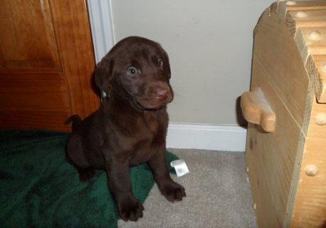 Labrador Retriever puppies for Adoption././.