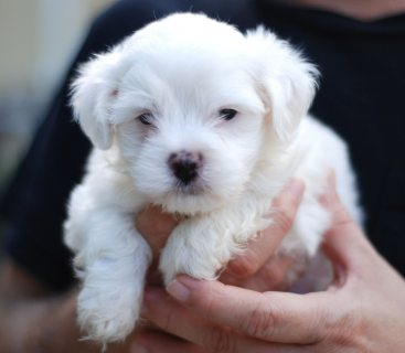 PURE WHITE MALTESE PUPS READY