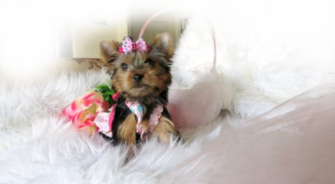 AKC Rare Quality Yorkie For Re-homing
