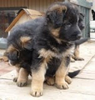 Gorgeous and playful german shepherd pups
