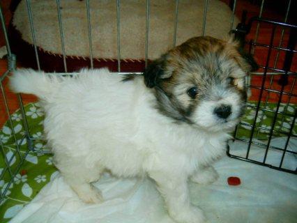 havanese puppys