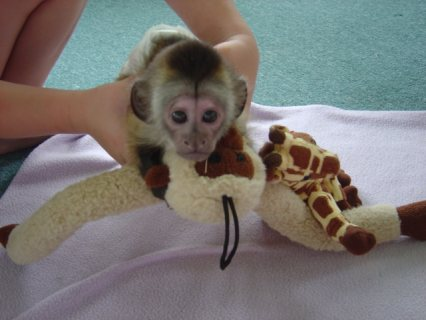 صور i got some 2 lovely baby capuchin monkeys ready for new loving h 2
