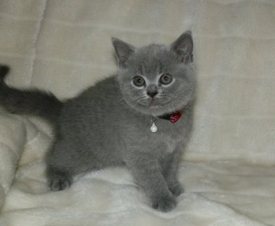Excellent And Sweet Gorgeous bsh kitten