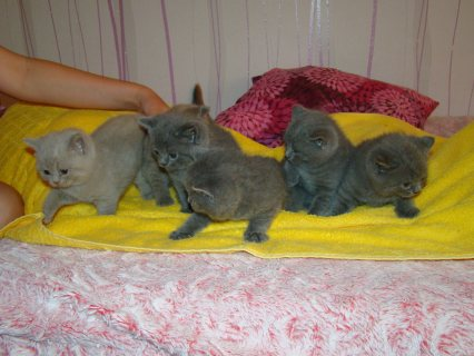 Bueatiful British Short hair  Kittens available and ready to go