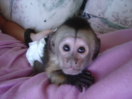Gorgeous Female Capuchin Monkey   Small, cute and capuchin. Very