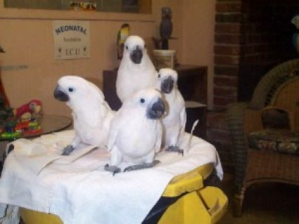 صور  Adorable Pair of Umbrella Cockatoos Parrots for sale. 1