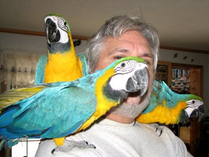 Blue and Gold macaw parrots for sale