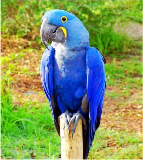 Well trained and Tamed Hyacinth Macaw parrots for sale..Please