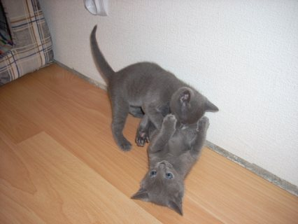 صور Russian Blue kittens for sale. 1