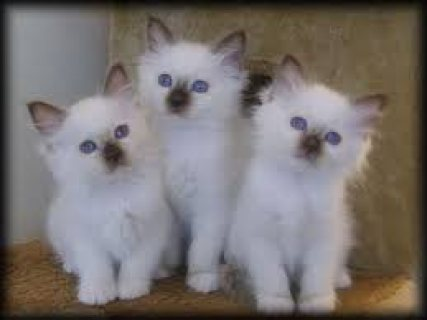 Adorable male and female Birman  kittens for sale .