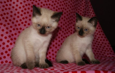 Adorable siamese Kittens Available for sale.
