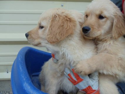 Golden Retriever Puppies for sale .