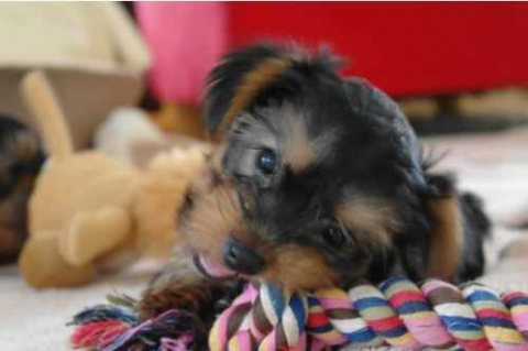 صور We have teacup Yorkie puppies for sale...//././.. 1