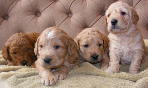 male and female Goldendoodle Puppies for sale.