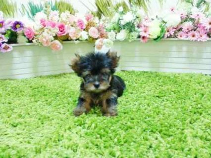 Gorgeous Yorkshire Terrier Puppies male & female, Playful,