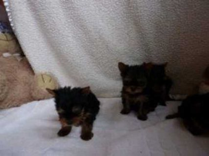 Healthy and sweet Well trained male and female Yorkie