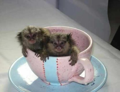 Pygmy Marmoset monkeys for sale and also for Adoption