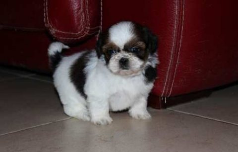 Stunning Shih Tzu Puppies good for adoption