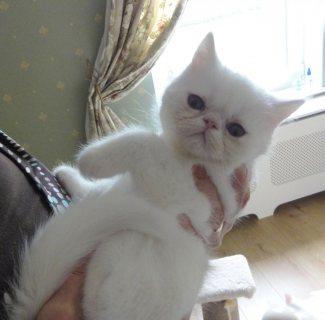 Exotic kittens for Adoption