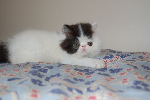 Exotic Shorthair Kittens Available for Adoption