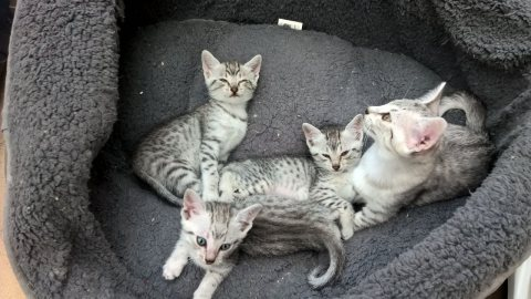 Lovely Egyptian Mau Kitten Avialable For Adoption