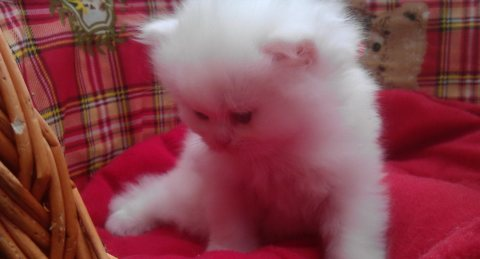 All White Persian Kittens for adoption
