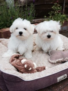 Adorable Maltese  Terrier Puppy for Sale