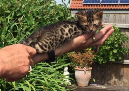 صور Cute Bengal Kittens Available 1