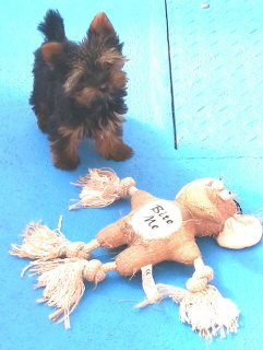 Sweet Yorkie Puppies Available For Adoption