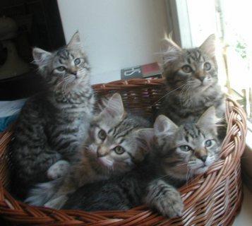 adorable siberian kittens for good homes