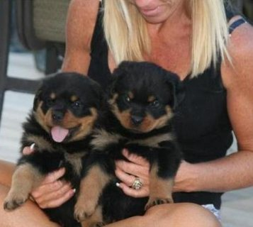Rottweiler puppies cute for adoption