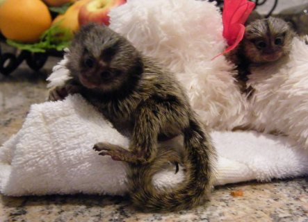 Marmoset Monkey available